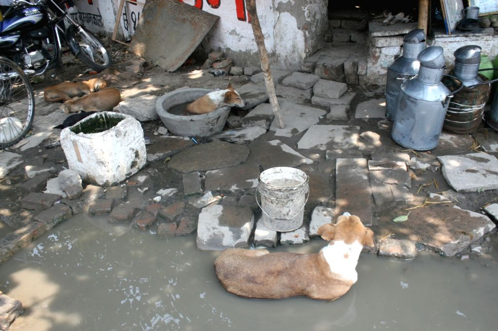Varanasi: Stray dogs take refuge from heat as they relax in water on a hot summer day in Varanasi, on June 7, 2019. (Photo: IANS)