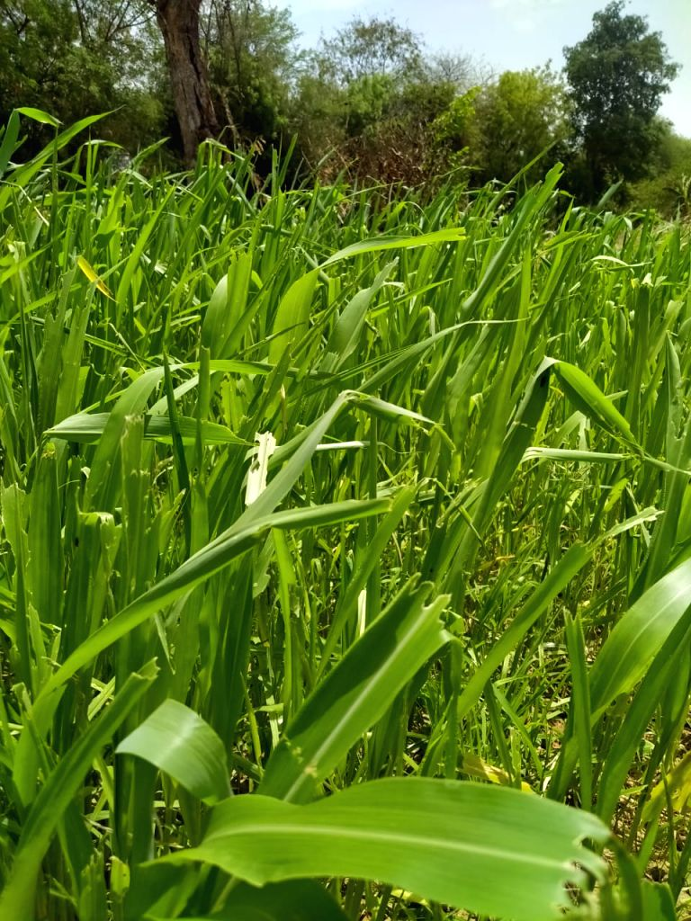 Vegetables, fodder crops hit by locust swarms.(Photo: Pramod Jha IANS)