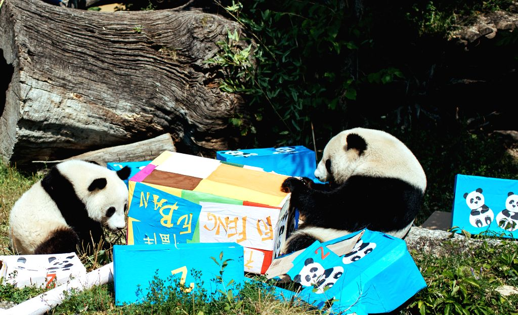 VIENNA, Aug. 7, 2018 - Giant panda Fu Ban (L) and its mother Yang Yang are seen with gift packages at the Schonbrunn Zoo in Vienna, Austria, on Aug. 7, 2018. The twin pandas Fu Feng and Fu Ban ...