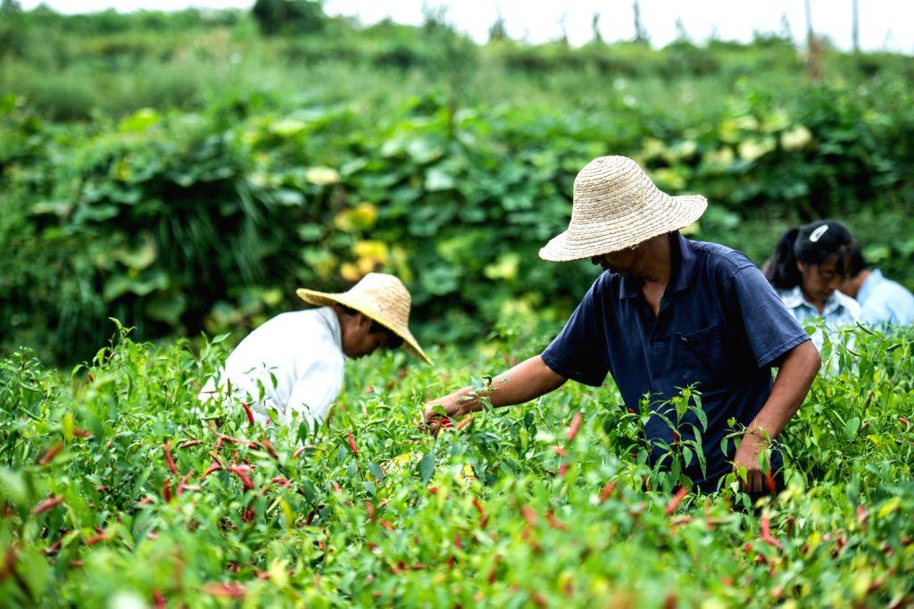 Villagers harvest chili at Yongle Township, Xinpu New District of Zunyi, southwest China's Guizhou Province, Aug. 13, 2020. Xinpu New District of Zunyi has developed ...
