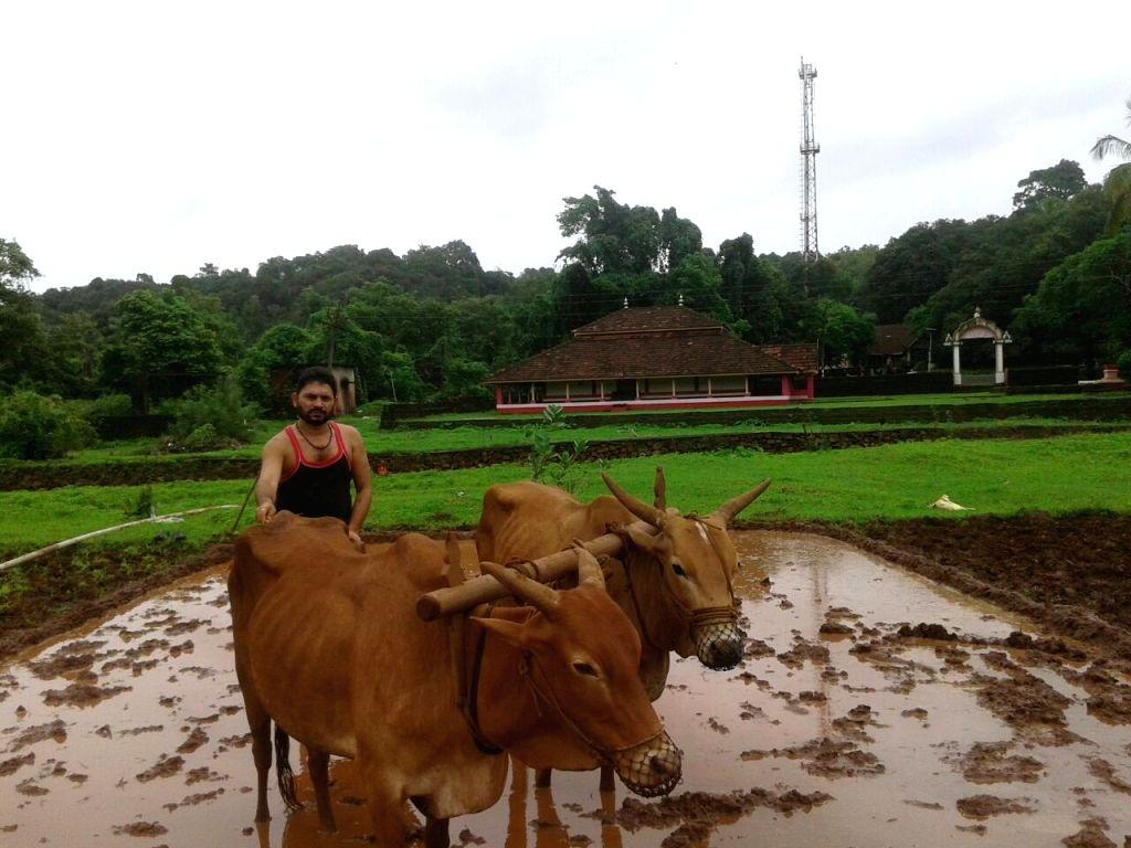 Wada (Maharashtra): A farmer tills his field in Wada of Maharashtra`s Devgad on June 28, 2017.