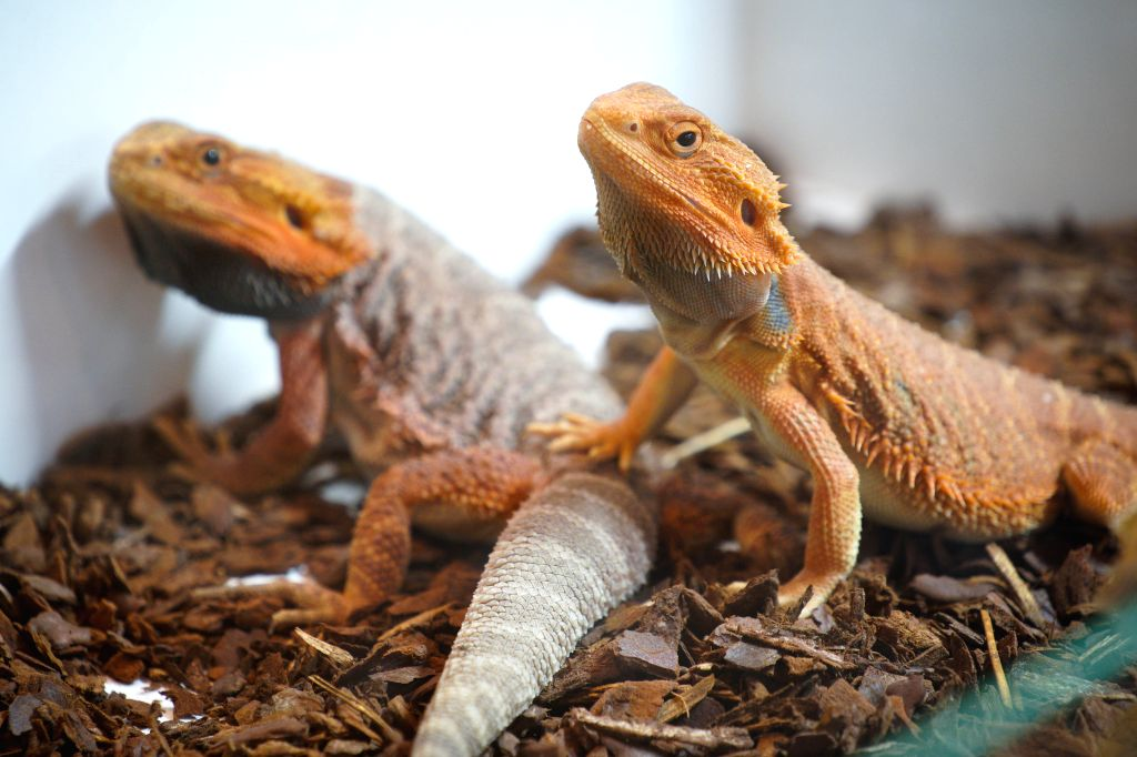 WARSAW, Nov. 17, 2019 - Desert lizards are seen on display at the Exotic Animals Fair in Warsaw, Poland, on Nov. 17, 2019. Visitors at the fair are given the chance to see and sometimes touch exotic ...