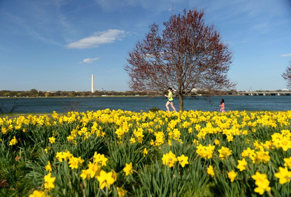 A woman runs by daffodils along the Potomac river in Washington D.C., the United States, April 6, 2015.