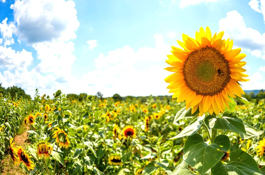 WASHINGTON D.C., Aug. 13, 2016 - Sunflowers are pictured in the sunflower field at Burnside Farms, Virginia, the United States, Aug. 12, 2016.