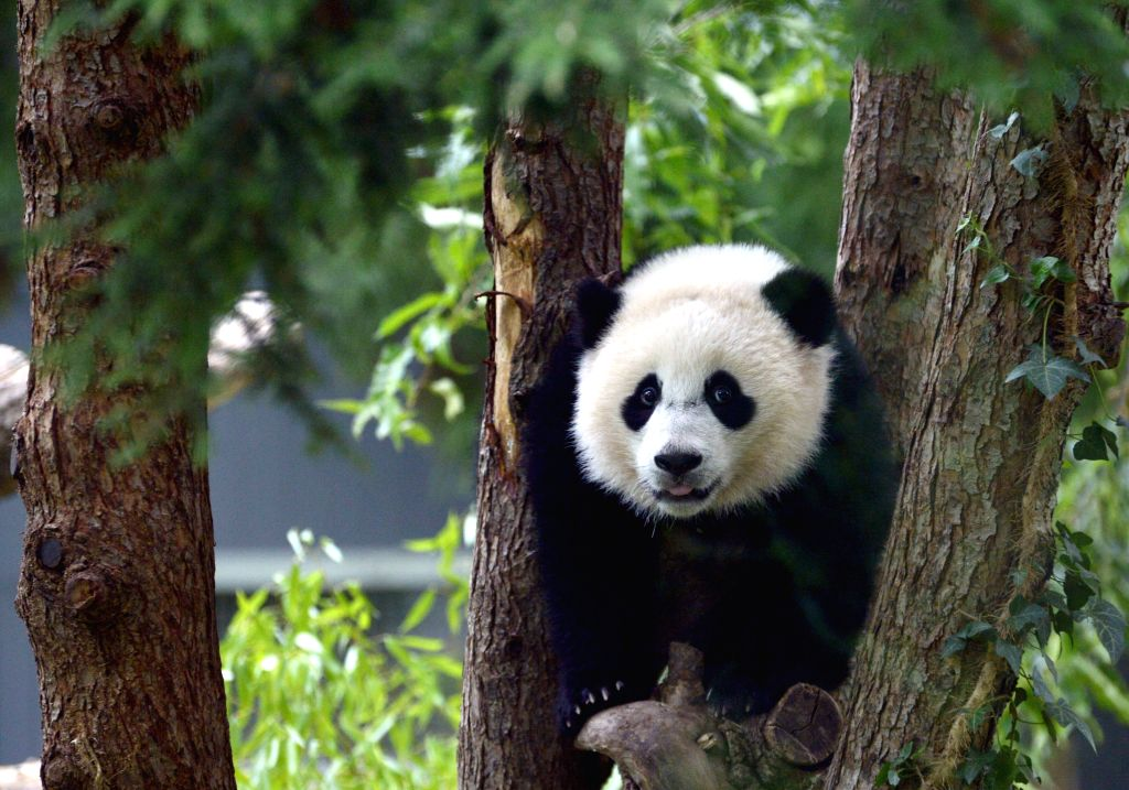 """Panda cub Bao Bao plays during a traditional """"Zhuazhou"""" ceremony at her first birthday celebration at the National Zoo in Washington D.C., Aug. ..."""