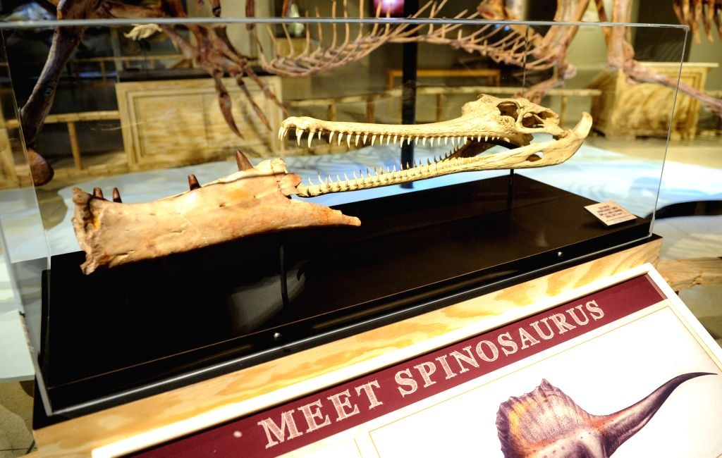 "The real jaw bone (L) of Spinosaurus aegyptiacus is showed on an exhibition ""Spinosaurus: Lost Giant of the Cretaceous"", featuring a life-sized .."