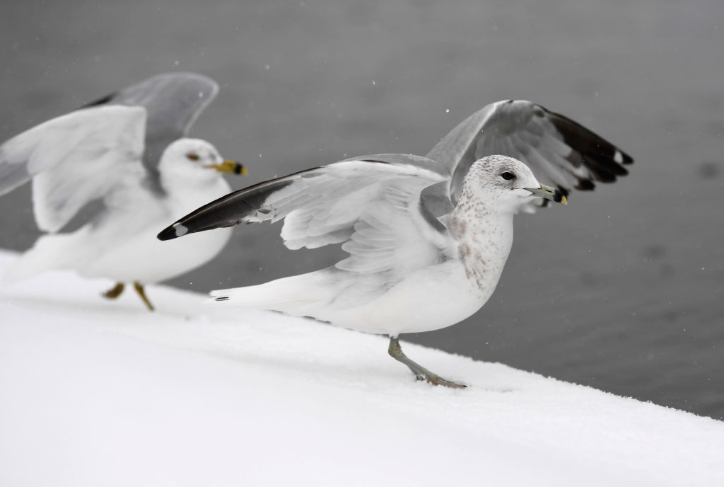WASHINGTON, Feb. 20, 2019 - Seagulls are seen in snow near the Capitol Hill in Washington D.C., the United States, on Feb. 20, 2019.
