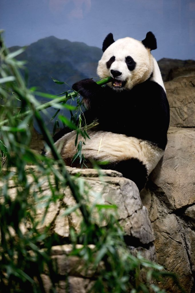 WASHINGTON, Feb. 23, 2019 - Giant Panda Mei Xiang eats treats in the giant panda house at the Smithsonian's National Zoo in Washington D.C., the United States, on Feb. 23, 2019. The Smithsonian's ...