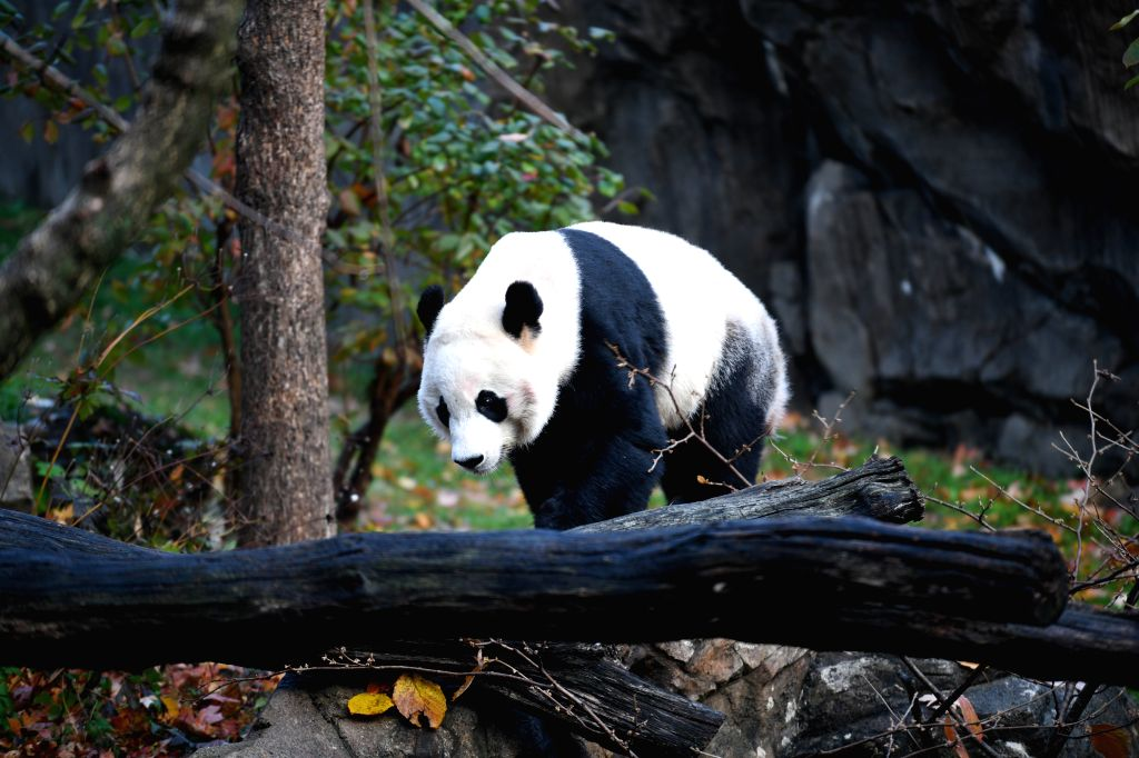 WASHINGTON, Nov. 19, 2019 - U.S.-born male giant panda Bei Bei is seen before his departure at the Smithsonian's National Zoo in Washington D.C., the United States, on Nov. 19, 2019. The 4-year-old ...