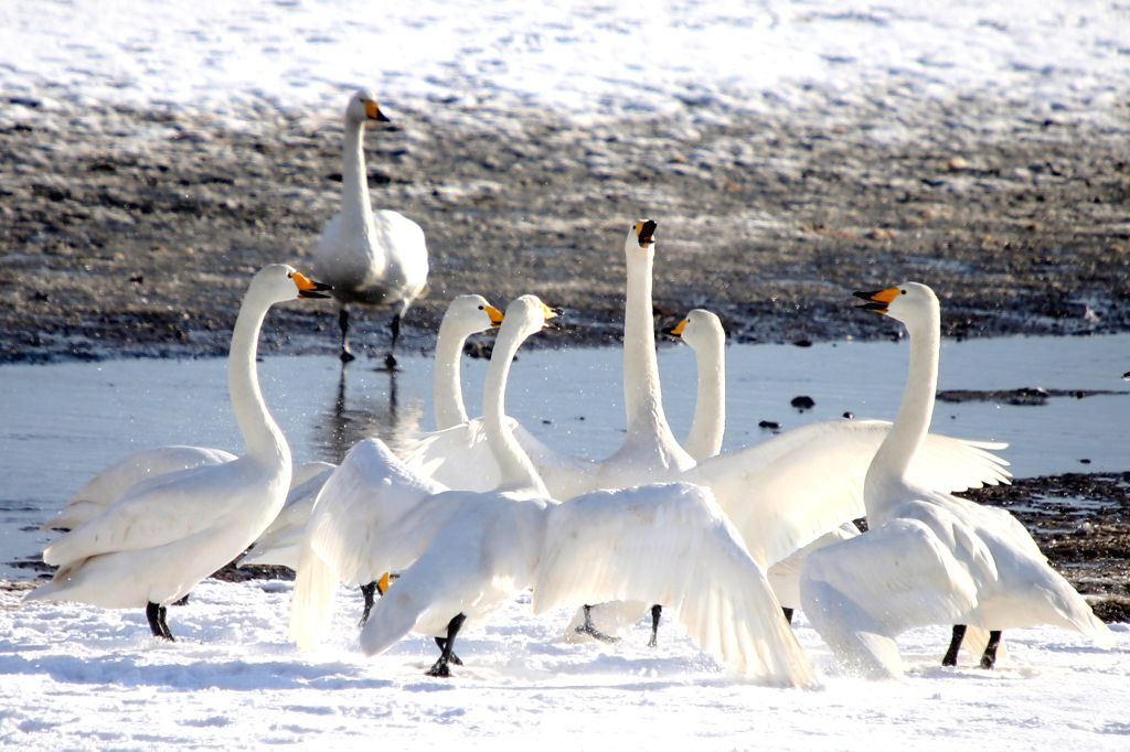 WEIHAI, Dec. 5, 2017 - Swans rest on the snow-covered Swan Lake in Rongcheng, east China's Shandong Province, Dec. 5, 2017.