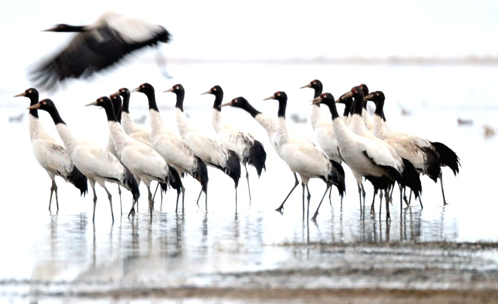 WEINING, Feb. 21, 2019 - Photo taken on Feb. 21, 2019 shows black-necked cranes at Caohai National Nature Reserve in Weining County, southwest China's Guizhou Province. Caohai National Nature Reserve ...