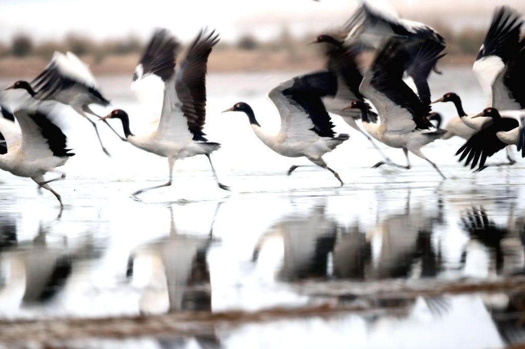 WEINING, Feb. 21, 2019 - Photo taken on Feb. 21, 2019 shows black-necked cranes skimming the surface of water at Caohai National Nature Reserve in Weining County, southwest China's Guizhou Province. ...
