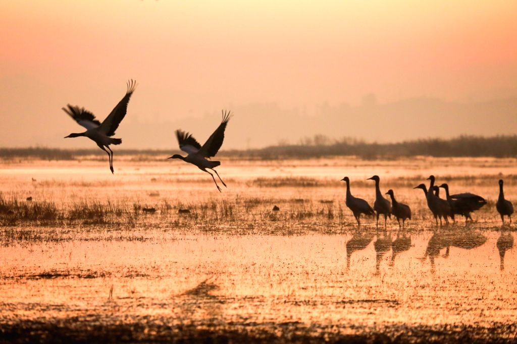 WEINING, Nov. 30, 2018 - Black-necked cranes are seen at the Caohai National Nature Reserve in Yi-Hui-Miao Autonomous County of Weining, southwest China's Guizhou Province, Nov. 29, 2018. Thousands ...