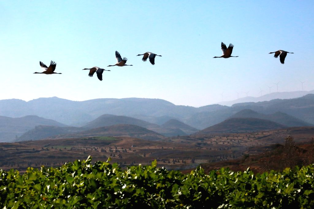 WEINING, Nov. 30, 2018 - Black-necked cranes fly over the Caohai National Nature Reserve in Yi-Hui-Miao Autonomous County of Weining, southwest China's Guizhou Province, Nov. 29, 2018. Thousands of ...