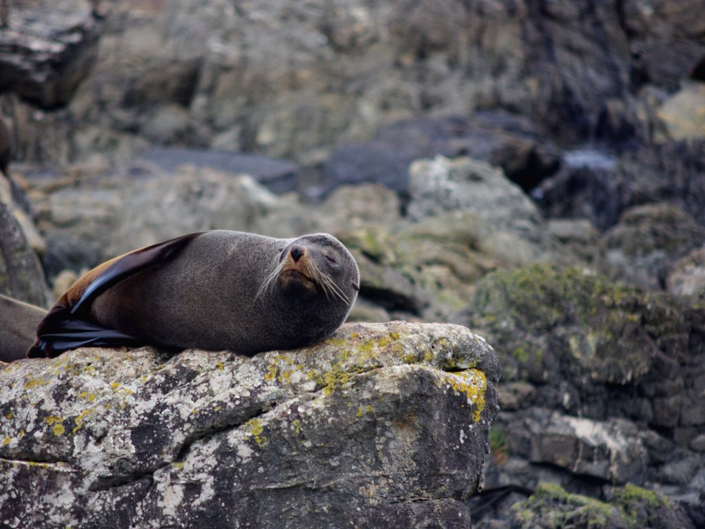 A seal sleeps on the beach of Red Rock Reserve in Wellington, New Zealand, July 26, 2014.