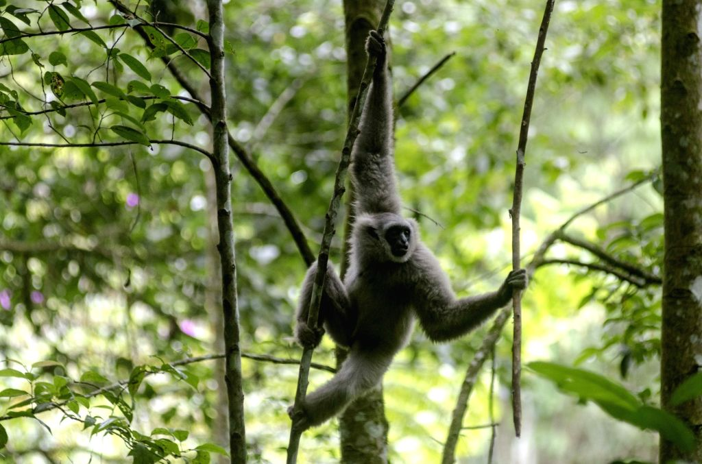 WEST JAVA, March 14, 2019 - A Javan silvery gibbon ( Hylobates Moloch ) swings on a tree after released on wild at Gunung Tilu wild conservation in West Java, Indonesia. March 14, 2019. Two of Javan ...