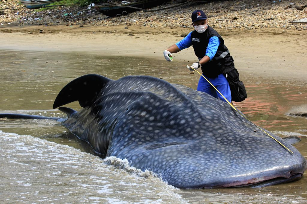 WEST SUMATRA, Oct. 8, 2019 (Xinhua) -- An official measures the length of the body of a dead whale shark which stranded at Taluak Batuang beach in West Sumatra, Indonesia, Oct. 8, 2019. (Photo by Andri Mardiansyah/Xinhua/IANS)