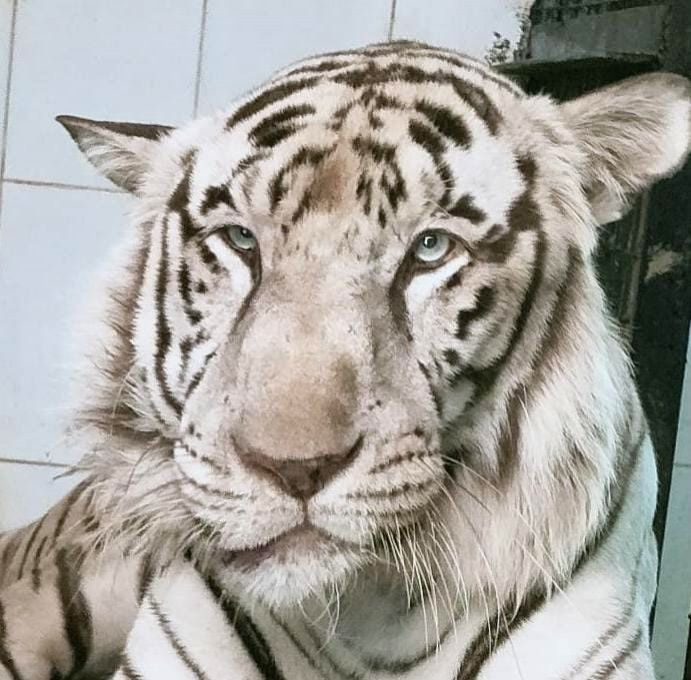 White tiger at Hyd Zoo dies of neoplastic tumour.
