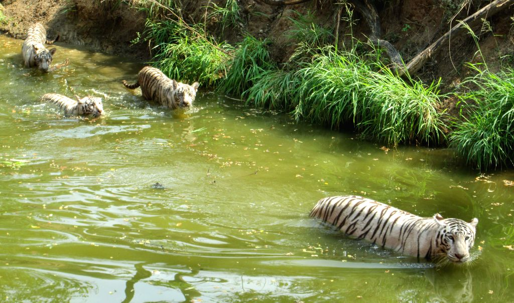 White Tigers cool themselves in their enclosure at Nehru Zoological Park in Hyderabad on May 2, 2014.