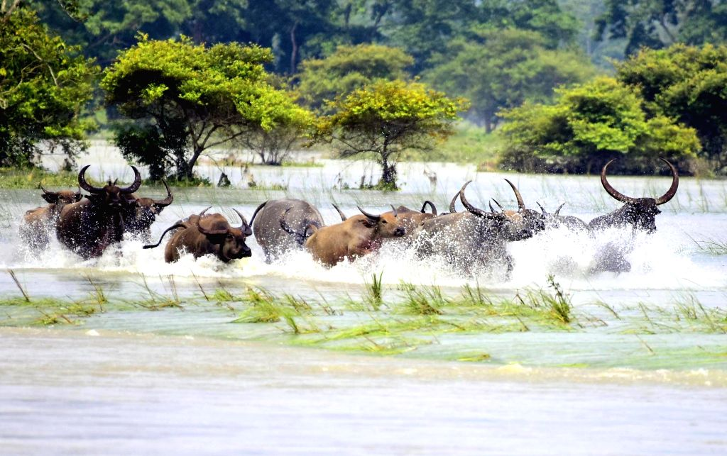 Wild Buffaloes run through flood waters towards a higher land at the inundated Kaziranga National Park in Assam's Kanchanjuri, on July 17, 2019.