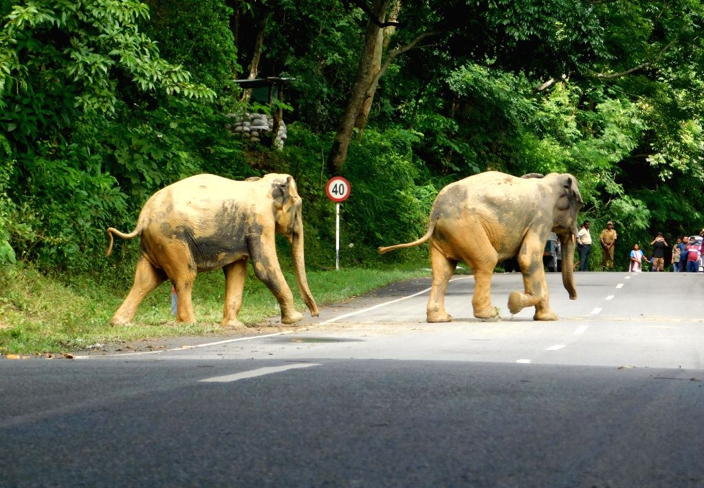 Wild elephants cross a road as they move to higher lands from flood hit Kaziranga National Park, Assam on Aug 15, 2017.