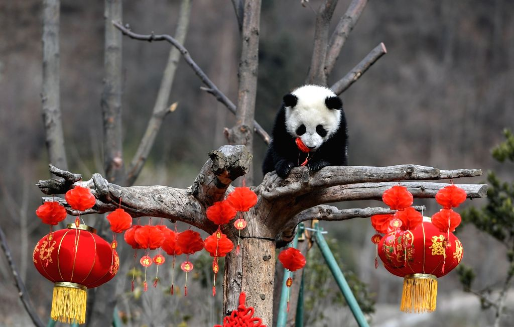 WOLONG, Feb. 15, 2018 - Photo taken on Feb. 15, 2018 shows a giant panda cub at Wolong Shenshuping Base of China Conservation and Research Center for Giant Pandas, southwest China's Sichuan Province. ...