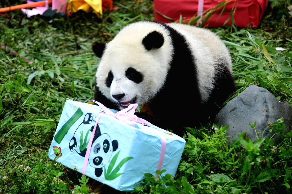 "WOLONG, July 25, 2019 - Photo taken on July 25, 2019 shows a giant panda at the ""Giant Panda Kindergarten"" in the Shenshuping base of China Conservation and Research Center for Giant Pandas ..."