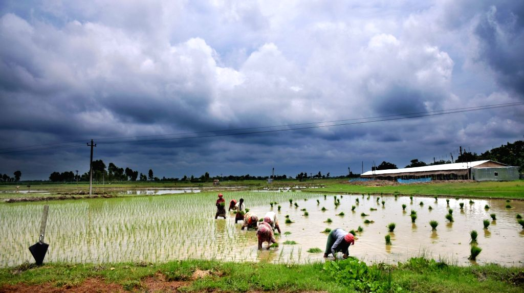 Women busy working in paddy fields in Balurghat of West Bengal.