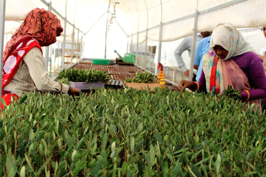Workers at an Olive farm working on olive rooting process at Olive centre of excellence in Jaipur.