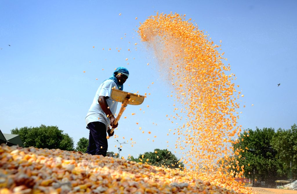 Workers dry maize in the sun at grain market, in Amritsar on Thursday, 17 June 2021.