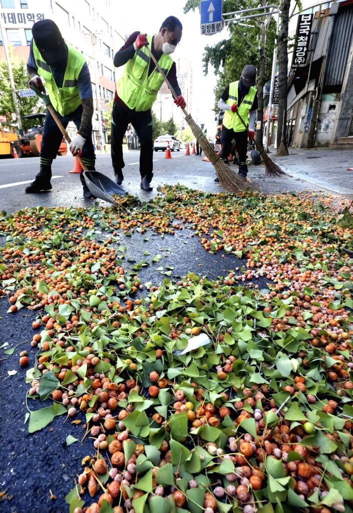 Workers gather ginkgo nuts on a street in the southeastern coastal city of Busan on Oct. 5, 2021,.