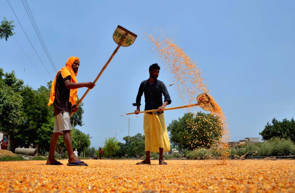 Workers spread maize grains to dry them under the sun at a grain market during Unlock 2.0, in Amritsar on July 4, 2020.