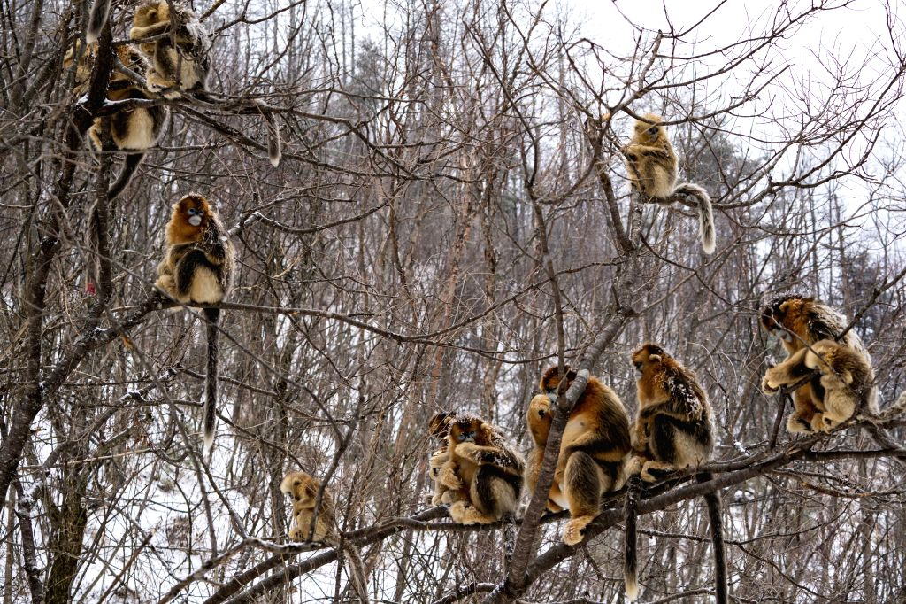 WUHAN, May 14, 2019 - Photo taken on Jan. 25, 2018 shows golden monkeys in Shennongjia National Park of central China's Hubei Province.