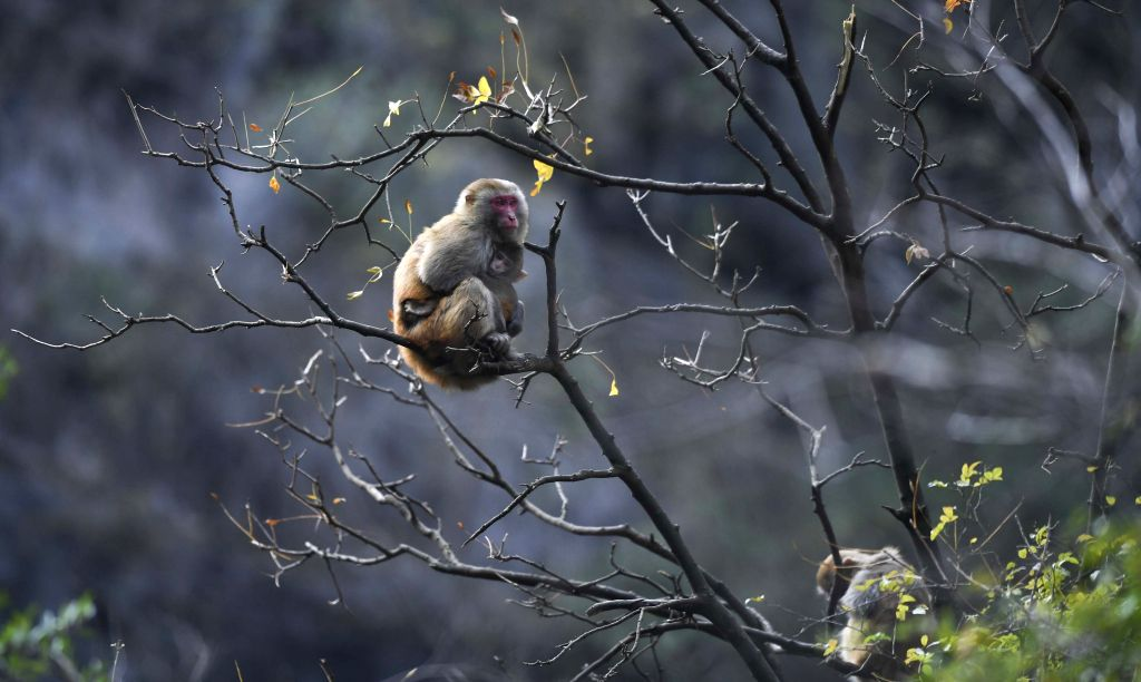 WUSHAN, Dec. 27, 2019 - Photo taken on Dec. 27, 2019 shows a wild macaque at the Small Three Gorges scenic area in Wushan County, southwest China's Chongqing Municipality. The ecological environment ...