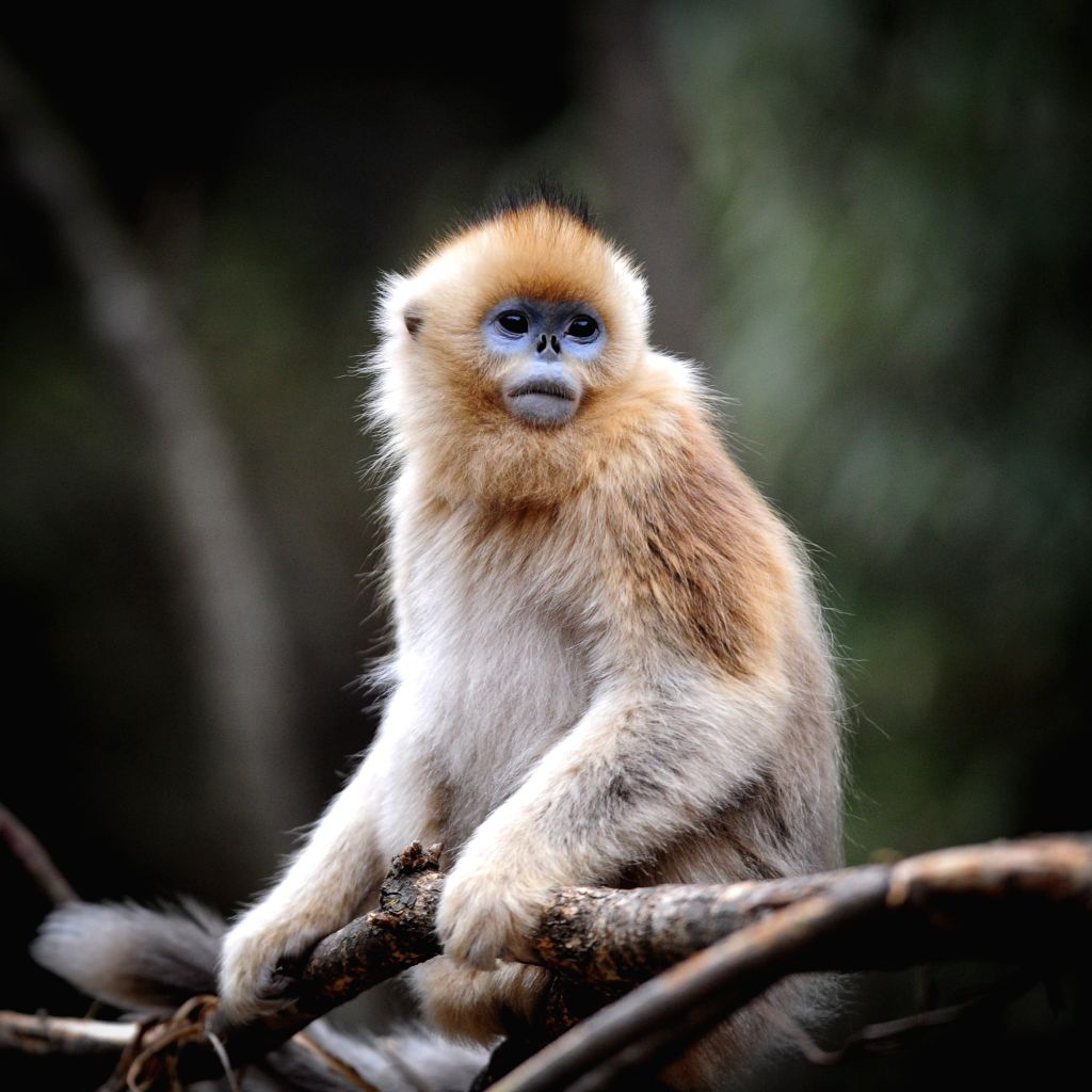 XI'Photo taken on Dec. 26, 2014 shows a golden monkey at the Foping Giant Panda Valley in Foping County, northwest China's Shaanxi Province.  ...