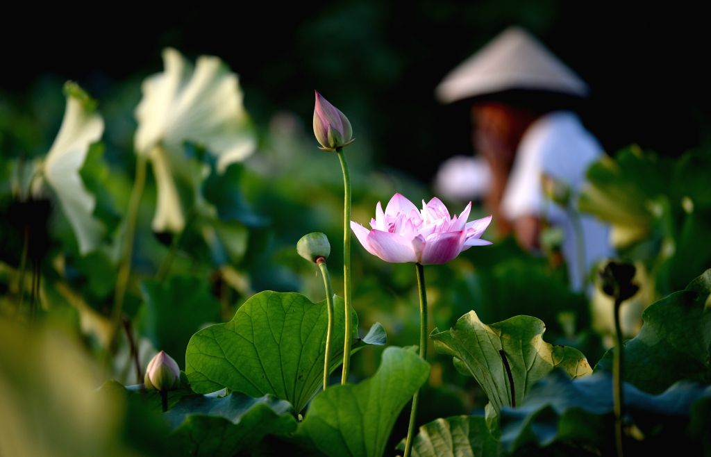 XI'Photo taken on July 25, 2019 shows a lotus flower in Fengdong New City of Xixian New Area, northwest China's Shaanxi Province.