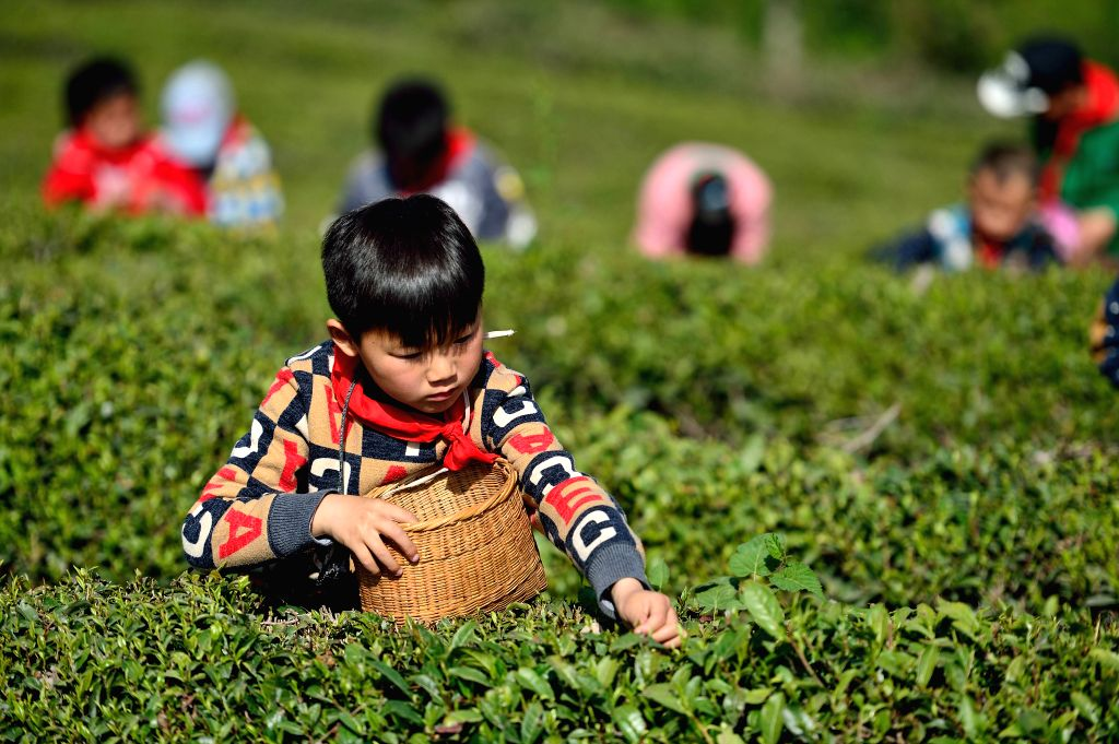 XIANGYANG, April 10, 2018 - Pupils experience tea picking at a tea garden in Tumen Village, Baokang County of central China's Hubei Province, April 10, 2018.