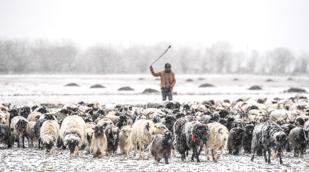 XIGAZE, March 11, 2017 - A shepherd herds sheep in Gyangze, southwest China's Tibet Autonomous Region, March 11, 2017. A heavy snowfall hit parts of Tibet on Saturday, providing better soil condition ...