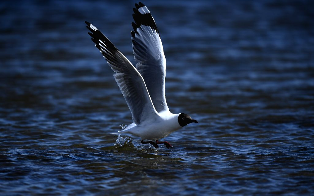 XINING, April 12, 2019 - A brown-headed gull flies over a lake at the Xiannvwan scenic spot of Qinghai Lake in northwest China's Qinghai Province, April 10, 2019. The Qinghai Lake goes into a ...