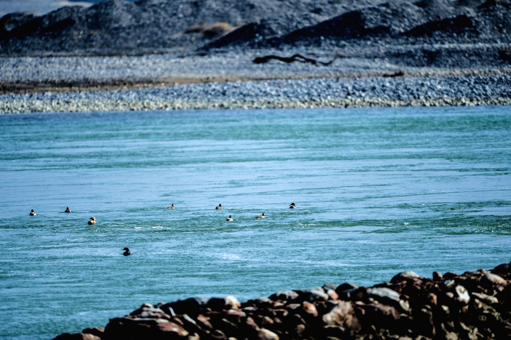 Ducks swim in the Yellow River in Guide County in northwest China's Qinghai Province, Dec. 10, 2013.