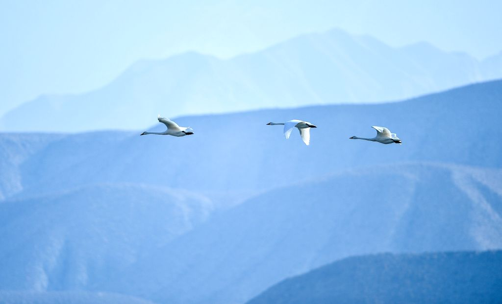 Whooper swans fly over the Yellow River in Guide County in northwest China's Qinghai Province, Dec. 10, 2013.