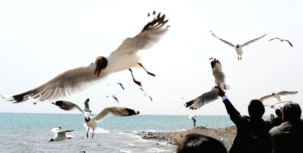 A tourist feeds gulls at the Qinghai Lake in northwest China's Qinghai Province, April 29, 2014.