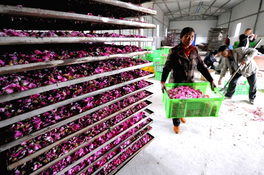 Local people process rose flowers in Wuli Village of Longchang Township, Xuanwei City, southwest China's Yunnan Province, April 28, 2014. There are 1,200 mu (about