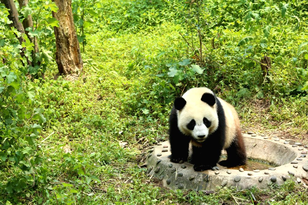 YA'Ruyi, a male panda, is seen in quarantine at the Bifengxia base of China Conservation and Research Center for Giant Pandas in Ya'an, southwest China's Sichuan ...