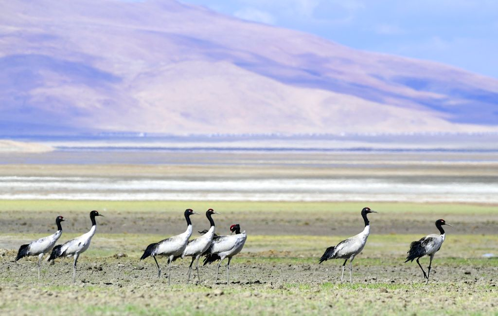YADONG, May 30, 2019 - Black-necked cranes rest on the Doqen Co (Lake) in Yadong County, southwest China's Tibet Autonomous Region, May 29, 2019.