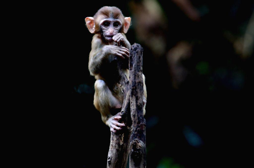 YANGON, July 30, 2019 - A baby monkey is seen at Zoological Gardens in Yangon, Myanmar, July 30, 2019.