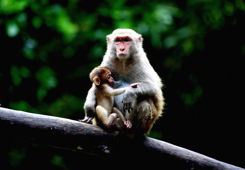 YANGON, July 30, 2019 - A monkey feeds its baby at Zoological Gardens in Yangon, Myanmar, July 30, 2019.
