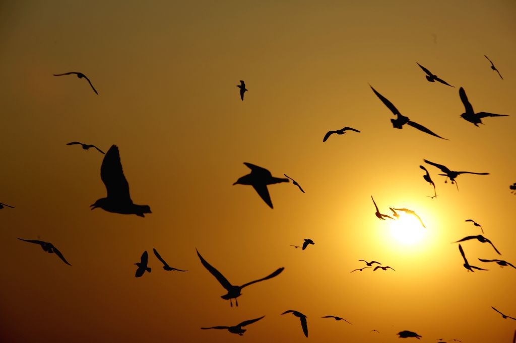 Photo taken on March 12, 2015 shows sea gulls flying over the Yangon River during the sunset time at Botahtaung Jetty in Yangon, Myanmar.