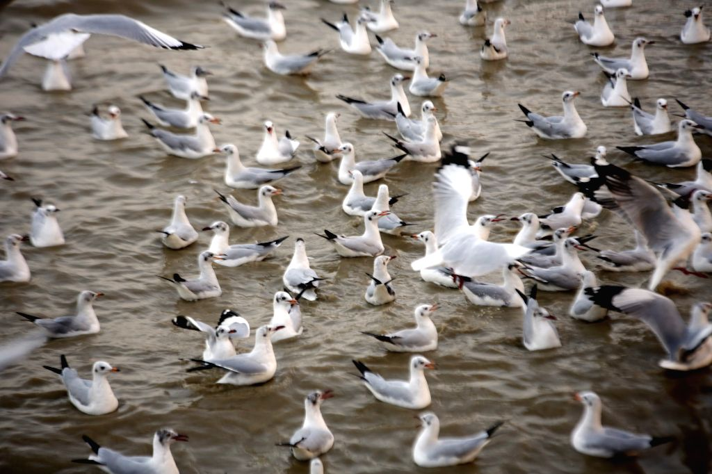 Photo taken on March 12, 2015 shows sea gulls on the Yangon River at Botahtaung Jetty in Yangon, Myanmar.