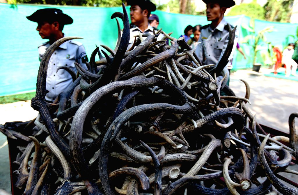 YANGON, March 3, 2019 - Confiscated wildlife parts to be destroyed are seen during the destruction ceremony of confiscated elephant ivory and wildlife parts to commemorate World Wildlife Day at ...